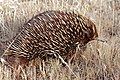Wild shortbeak echidna walking.jpg