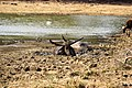 Wild water buffalo.jpg