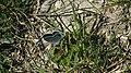 Windknollen-Falter auf Gras.JPG