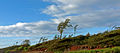 Windswept trees, Lihue, Kauai, Hawaii.jpg