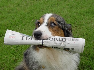 Tulsa World - A June 29, 2004 issue of Tulsa World retrieved by a blue merle Australian Shepherd named Winston.