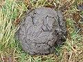 Wisent feces-Skupowo-1.jpg