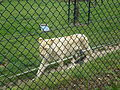 Witte leeuw.JPG