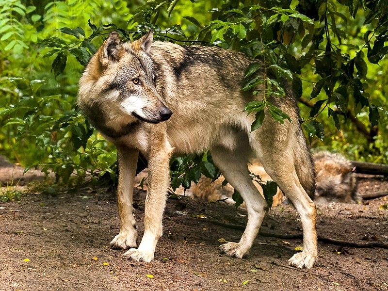 File:Wolf (2) (34174834064).jpg