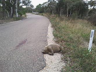 Roadkill - Wombat roadkill, Nerriga, New South Wales, Australia