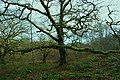 Wonderful old tree - geograph.org.uk - 1635390.jpg