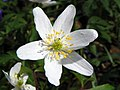 Wood anemone (Anemone nemorosa), Box Wood, Walkern (27426882190).jpg