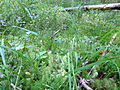 Woodlot NW of Kornilovo - whortleberries - DSCF5600.JPG