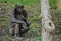 Worried chimp.jpg