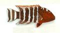 XRF-Cheilinus fasciatus.png