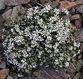 Xenophyllum incisum pubescens (8473127581).jpg