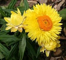 Xerochrysum bracteatum wikipedia descriptionedit mightylinksfo