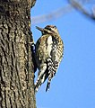 Yellow-bellied Sapsucker (4260409528).jpg