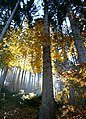 Yellow-leafed tree in autumn.jpg