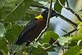 Yellow-mantled Weaver - Kakum - Ghana 14 S4E2382 (16012589227) (cropped).jpg