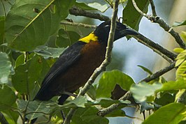 Yellow-mantled Weaver - Kakum - Ghana 14 S4E2382 (16012589227) (cropped).jpg