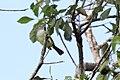 Yellow-olive Flycatcher (Tolmomyias sulphurescens) (7222948108).jpg