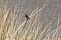 Yellow-winged Blackbird (Agelasticus thilius) female (4856949856).jpg