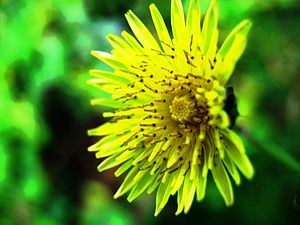 A photograph of a dandelion flower.