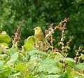 Yellowhammer - Flickr - gailhampshire.jpg