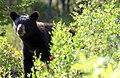 Young Black Bear Near My Camp (56968508).jpeg