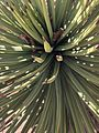 Yucca brevifolia (11004641414).jpg