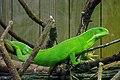 Zoo Beauval 12 06 2010 24 Brachylophus fasciatus.jpg