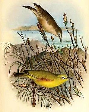 Seychellen-Dotterbrust-Brillenvogel, unten