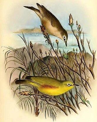 Marianne white-eye - Zosterops semiflavus below