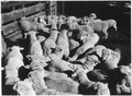 """Sheep at Wind River Agency"" - NARA - 293376.tif"