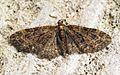 (1852) Brindled Pug (Eupithecia abbreviata) - Flickr - Bennyboymothman.jpg