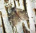 (1999) Lobster Moth (Stauropus fagi) (27476698982).jpg
