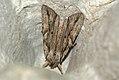 (2240) Blair's Shoulder-knot (Lithophane leautieri) (3969753591).jpg