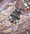 (2291) The Coronet (Craniophora ligustri) (35736397602).jpg