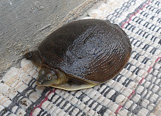 Indian Flap-shell Turtle