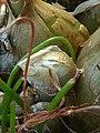 (MAD) A. bracteata-bulb-1.jpg