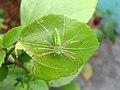 (Peucetia viridans) Green lynx spider spotted at Madhurawada 1.JPG