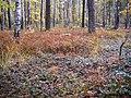 Березово-сосновий ліс із чорницево-брусничним підліском.jpg