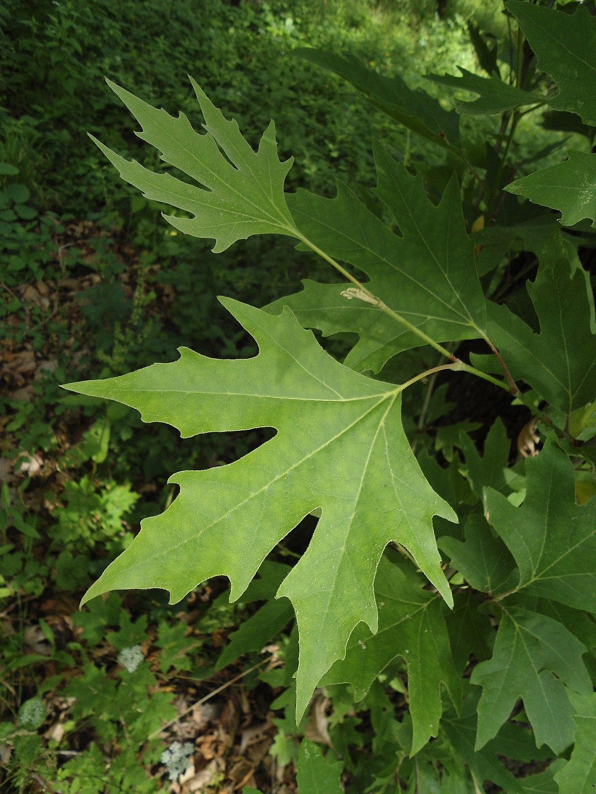 Къпина Rubus L. - вижте лечебните й свойства - Съновник