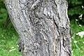 Клен сахарный (Acer saccharum).jpg