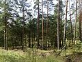 Лес у деревни Заполье - panoramio (2).jpg