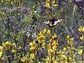 Метелик на рокитнику.jpg