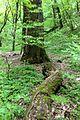 Найбільший дуб Лисої гори 01.JPG