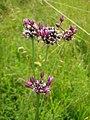 Орхидея и панаска детелина 26.jpg