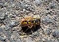 Оса германская - Vespula germanica - German Wasp - Европейска жълта оса - Deutsche Wespe (26275991014).jpg