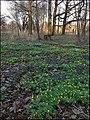 Первоцветы в ботаническом саду - panoramio.jpg