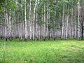 Роща у пос. Дачный - panoramio.jpg