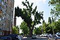 Тополя чорна - ботанічний пам'ятник природи місцевого значення (місто Одеса, Шампанський провулок).jpg