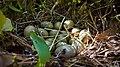 Яйца Дальневосточного Аллигатора.jpg