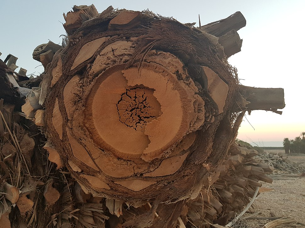 דקל תמר מצוי חתך גזע דמוי עץ (3)